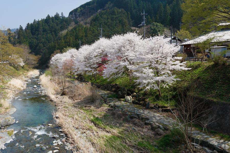 土と火の里の桜